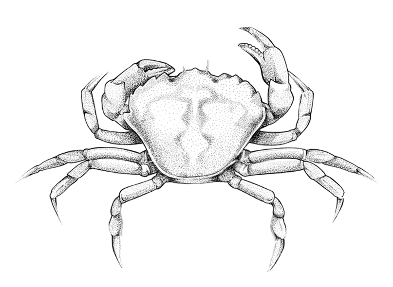 http://www.phillustrator.co.uk/files/gimgs/22_crab-new.png