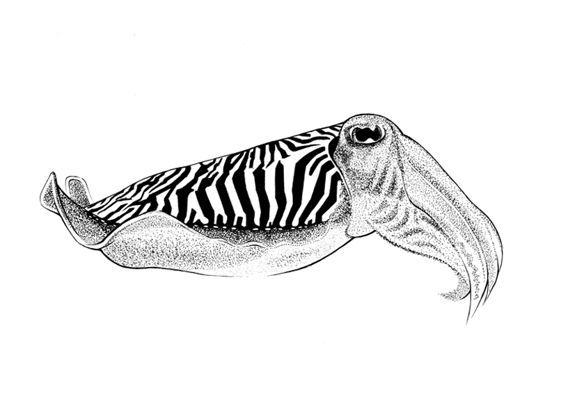 http://www.phillustrator.co.uk/files/gimgs/22_cuttle-fish.png