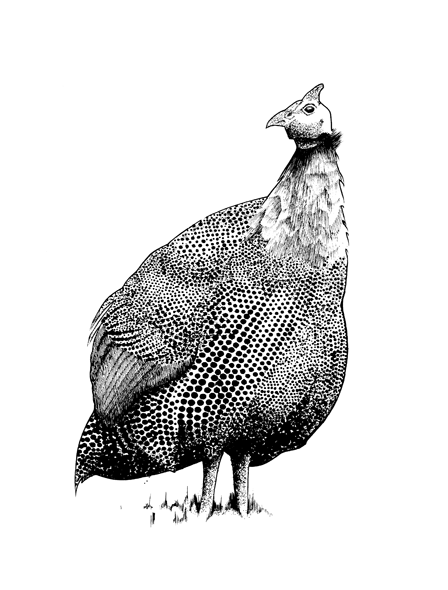 http://www.phillustrator.co.uk/files/gimgs/22_guinea-fowl.png