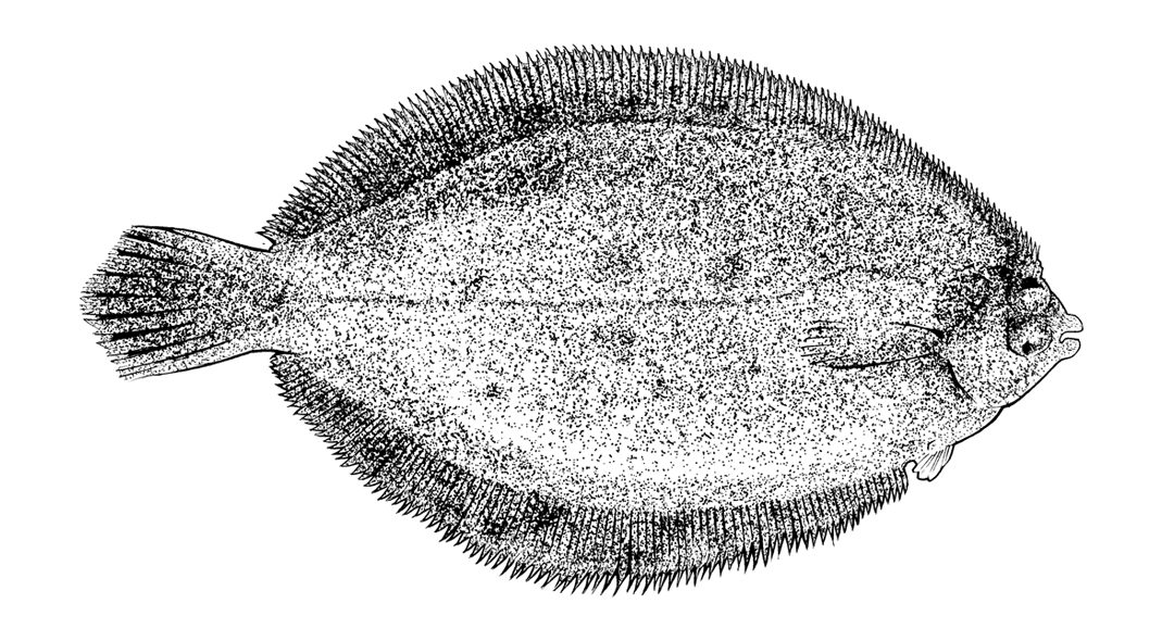 http://www.phillustrator.co.uk/files/gimgs/22_lemon-sole.png