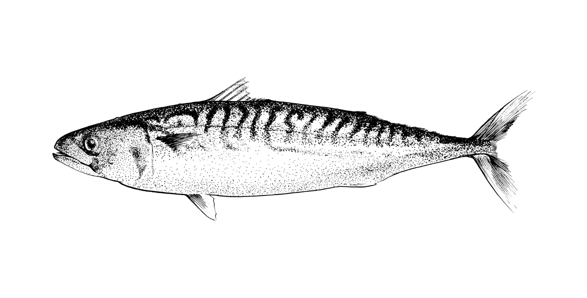http://www.phillustrator.co.uk/files/gimgs/22_mackerel-stipple-drawing.png