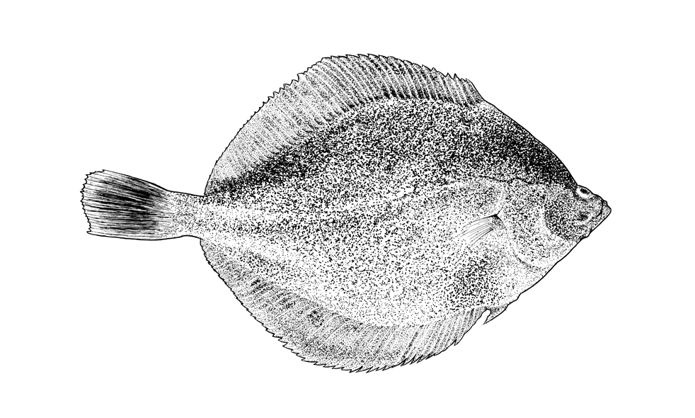 http://www.phillustrator.co.uk/files/gimgs/22_plaice-small.png