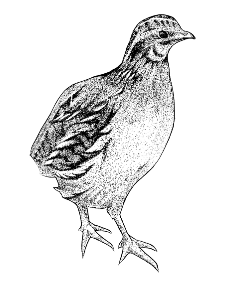 http://www.phillustrator.co.uk/files/gimgs/22_quail.png